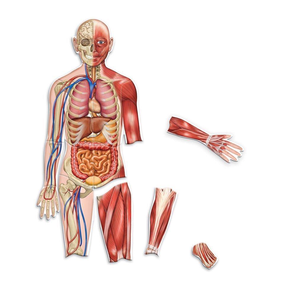 Corpul uman - set magnetic - Cunoasterea mediului - Learning Resources