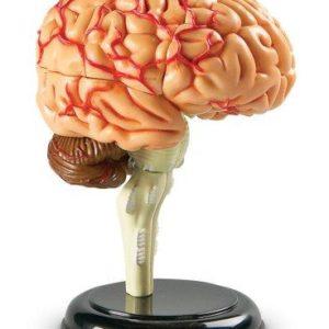 Creierul uman - macheta - Cunoasterea mediului - Learning Resources