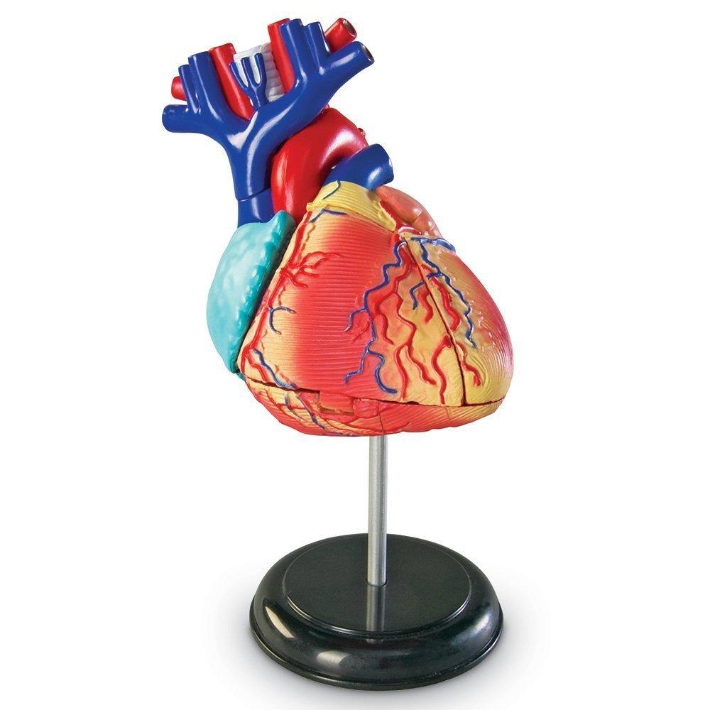 Sablon corp uman - Inima - Cunoasterea mediului - Learning Resources